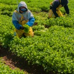 Migrant Workers-California Lakeside Organic Gardens